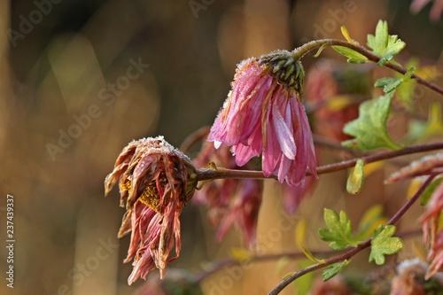 Verbluhte Herbst Chrysantheme Chrysanthemum Indicum Mit Raureif