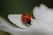 Leinwanddruck Bild - Marienkäfer auf weißem Blütenblatt