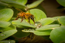 Honey Bee Collects Water Drop