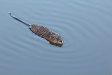A Curious Muskrat Swims Close To Look Over The Photographer