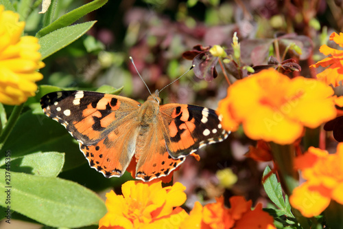 Painted Lady Butterfly on colorful flowers