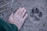 Fototapeta Zwierzęta - Trop wilka na leśnej drodze.