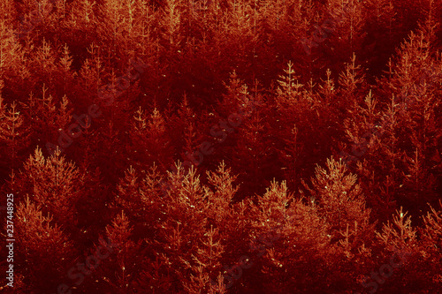Foto auf Leinwand Violett rot Sun set red light on the pine forest. Yellowed woods backdrop.