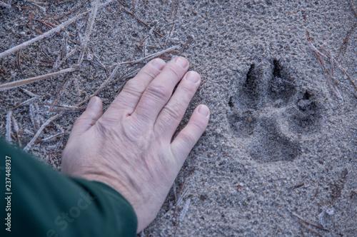 Fototapeta Trop wilka na leśnej drodze. obraz