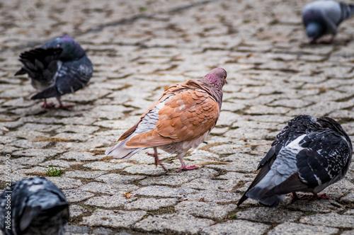 Obraz gołębie w mieście wędrujące po brukowanym placu - fototapety do salonu