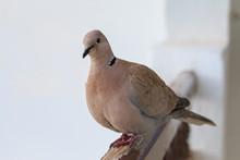Eurasian Collared Dove, Streptopelia Decaocto On The Edge Of Balcony.