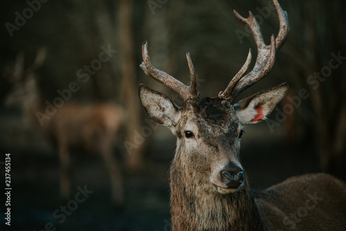 Poster Cerf Deer in the forest