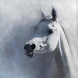 Fototapeta Fototapety ze zwierzętami  - Arabian horse, koń Arabski