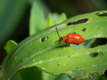 Scarlet Lily Beetle Sitting On...