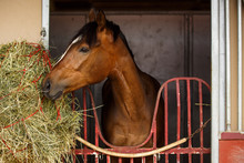 Horse Eating Hay Next To Stall