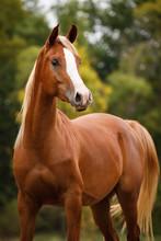 Arabian Horse Standing Outdoors