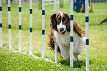 English Springer Spaniel Running Through Obstacles