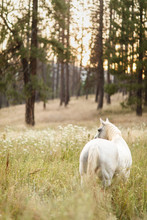 Grey Horse In Mountain Pasture