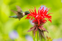 A Male Ruby-throated Hummingbi...