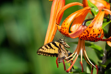 An Eastern Swallowtail Butterfly Feeding On A Tiger Lily