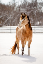 Buckskin Horse In Snow