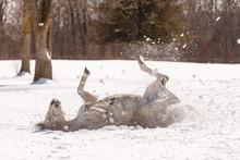 Grey Horse Rolling In Snow