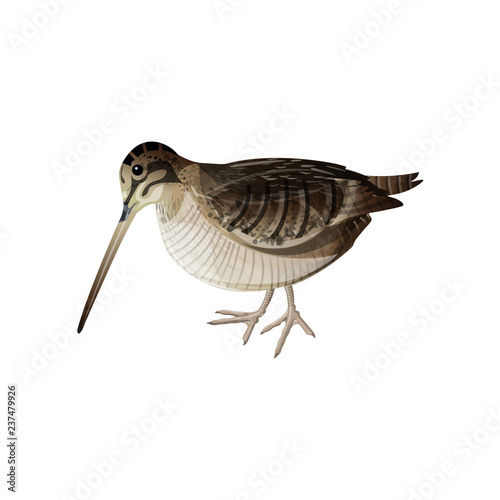 Photo Eurasian woodcock vector