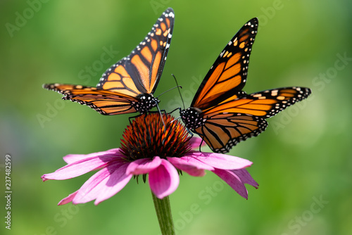 Staande foto Vlinder Two monarch butterflies feeding on a pink cone flower.