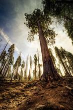 Giant Sequoia Sky, Mariposa Grove, Yosemite National Park, California