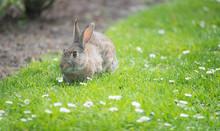 Little Rabbit On Green Grass W...