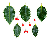 Holly Leaves And Berry