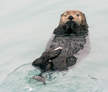 A Wild Sea Otter In The Waters Of Seward, Alaska Near Kenai Fjords National Park In The Kenai Peninsula.
