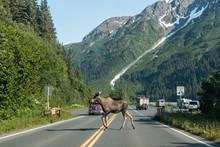 Wild Moose In Kenai Fjords National Park (Alaska)