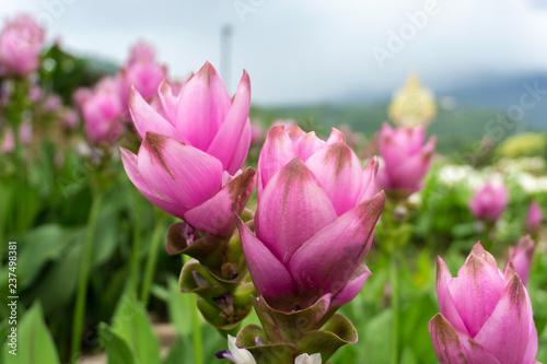 Photo  Krachai flower (Siam tulip)
