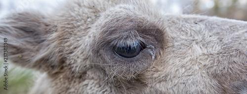 Spoed Fotobehang Kameel Portrait of a camel