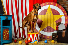Rhodesian Ridgeback Circus Actor Sitting On A Drum In Front Of Target
