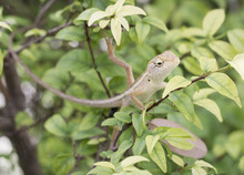 Select Eye Focus Lizard In Thailand. Beautiful Chameleon Species In Thailand Perched On Branch In Nature.( Bearded Dragon)