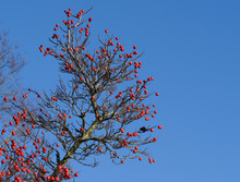 Branches With Red Fruits Of The Hybrid Cockspurthorn Or Lavalle Hawthorn Tree (Crataegus X Lavallei 'Carrierei') Against A Clear Blue Sky, Decorative Plant Also In Autumn And Winter, Copy Space
