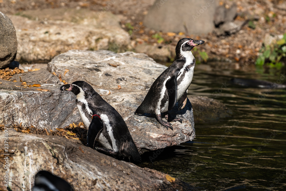 Humboldt-Pinguin - Humboldt penguin