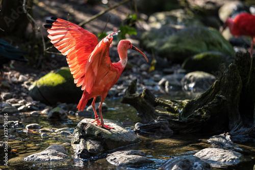 Naklejka premium Szkarłatny Ibis - Czerwony Ibis - Eudocimus ruber