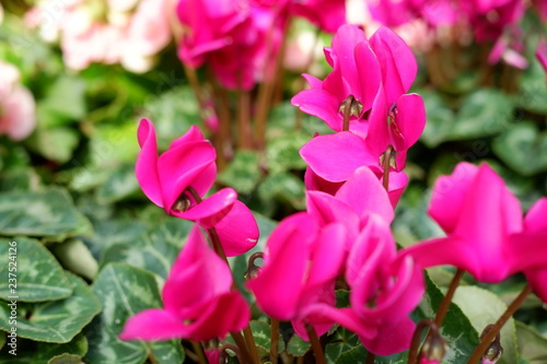 Poster Rose beautiful pink flower background