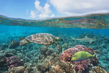 A Green Turtle On A Coral Reef With Fish Underwater And Blue Sky With Cloud, Split View Above And Below Water Surface, Bora Bora, French Polynesia, South Pacific Ocean