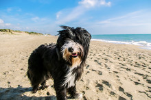 Black And White Bearded Collie...