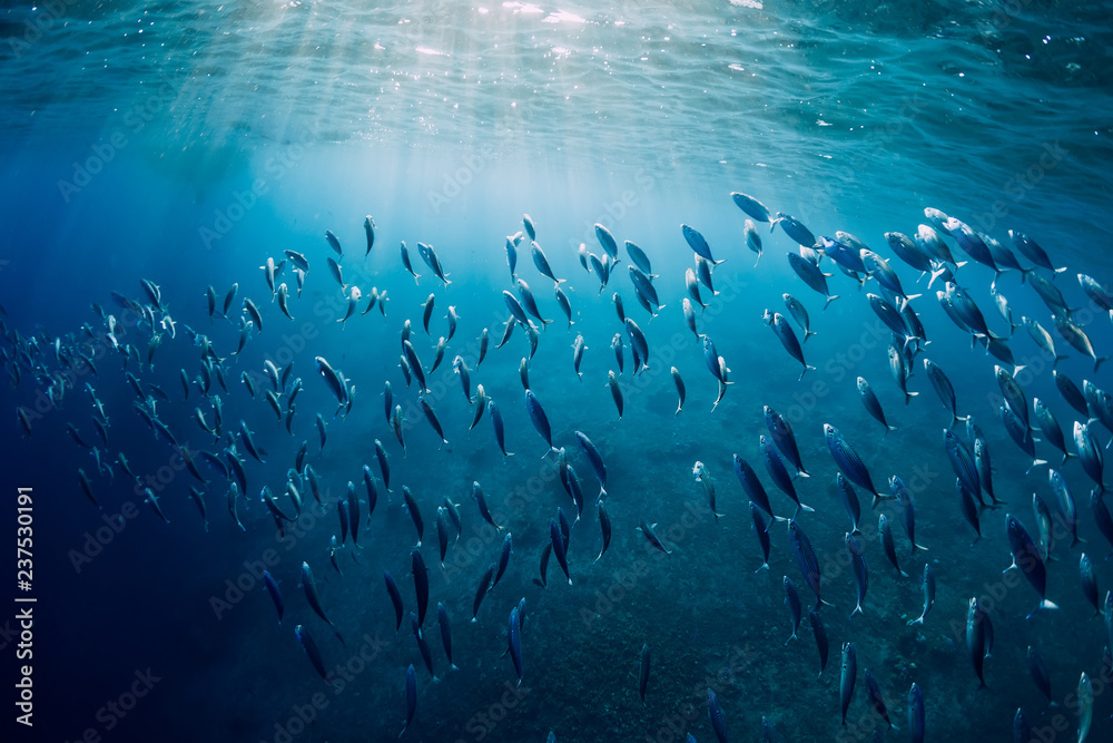 Fototapety, obrazy: Underwater wild world with tuna school fishes and sun rays