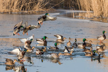 A Group Of Ducks (common Malla...