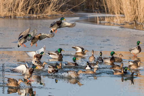 A group of ducks (common mallard) are flying and landing in a pond during a sunny day in winter Fototapeta