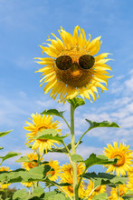 Beautiful Sunflower Wear Sungl...