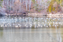 Flock, Many Canada Geese, Goose Resting, Swimming, Sleeping At Lake Fairfax, Virginia On Water In Winter, Spring Near Shore With Forest, Dry Leaves