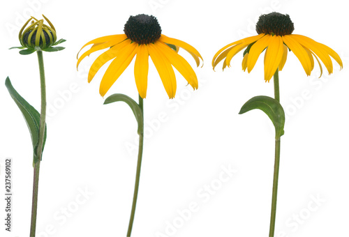 Fotografia, Obraz  black eyed susan isolate on white background
