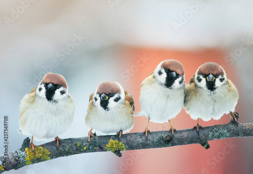 Foto op Plexiglas Vogel small plump funny baby bird Sparrow sitting on a branch in the garden and look hungry waiting for parents