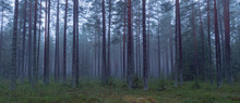 Pine Tree In A Foggy Forest