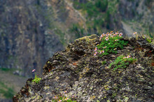 Aster Alpinus Grows On Rocks Among Stones. Amazing Pink Flowers With Yellow Center. Alpine Asters On Cliff. Vegetation Of Highlands. Mountain Flora With Copy Space. Wonderful Nature. Beautiful Plants.