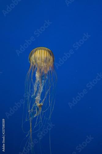 Fotografie, Obraz  Jellyfish in Aquarium
