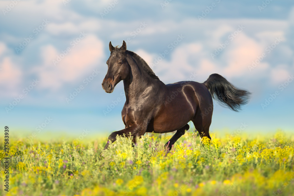 Bay horse trotting on flower spring  meadow