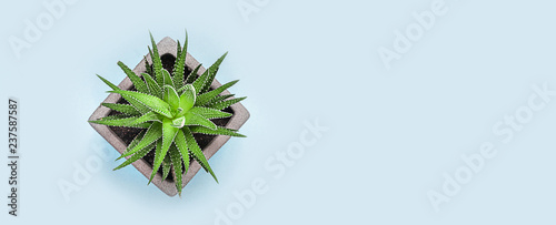 Succulent plant on color pastel paper background, top view, flat lay.Long banner.
